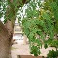 Planta en maceta semillas de árboles Moringa semillas Bonsai hogar y jardín 100 g/bolsa