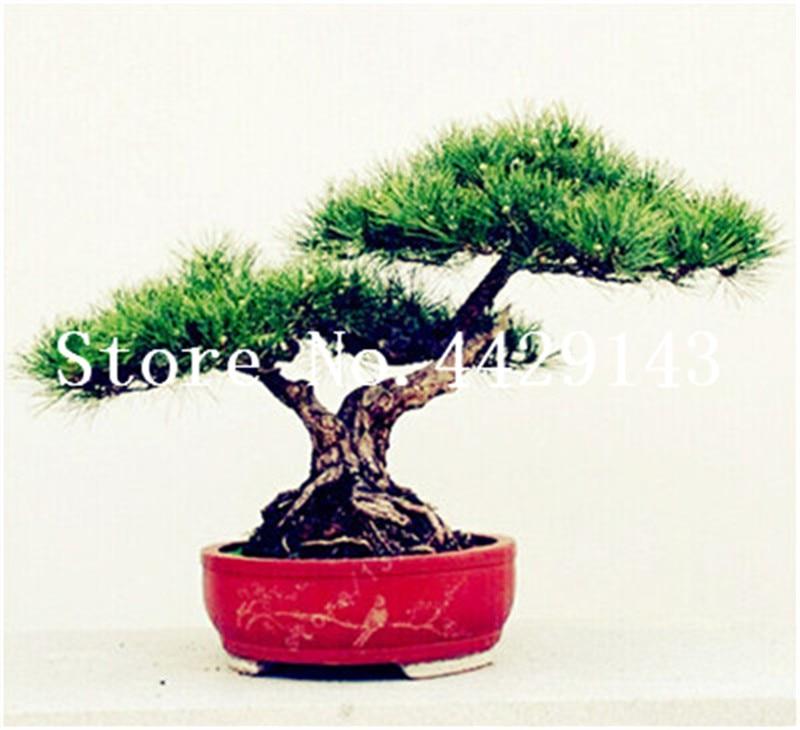 20 pcs japanese black pine natural indoor bonsai tree wooden perennial  plants for home garden decor best packaging