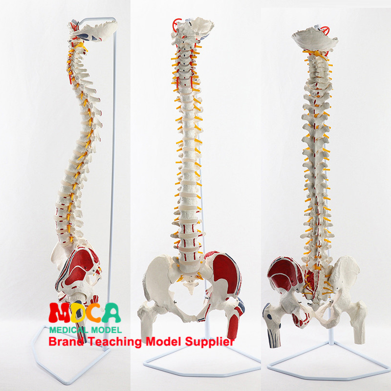 85CM Hanging Muscle Start And Stop Point Writing Color Spine Belt Femur Massage Beauty Human Spine Model MJZ203