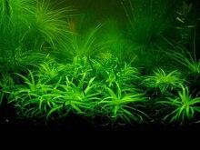 500 pcs / Bag aquarium plant seeds Water Grasses Random Aquatic Plant Grass Seeds Indoor Beautifying Plant Seeds