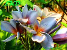 7 to15inch Rooted Plumeria Plant Thailand Rare Real Frangipani Plants no114-indonesian-violet-1