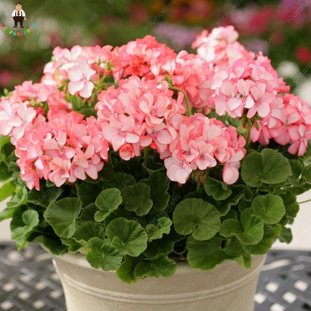 50 pz Geranio Impianto Bonsais Pelargonium In Vaso Bonsai Fiore Perenne Interno O Esterno Per Il Giardino di Casa Jardin Plantas