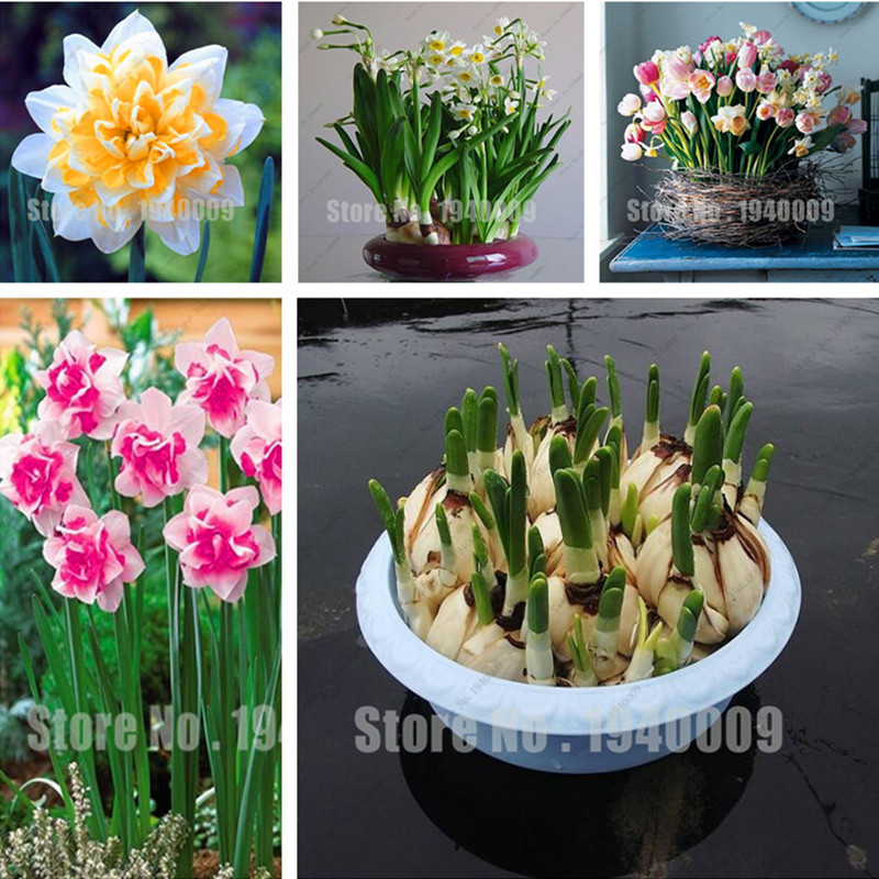 1 Unids Flor Del Narciso Bulbos de Narcisos No Narciso Semillas