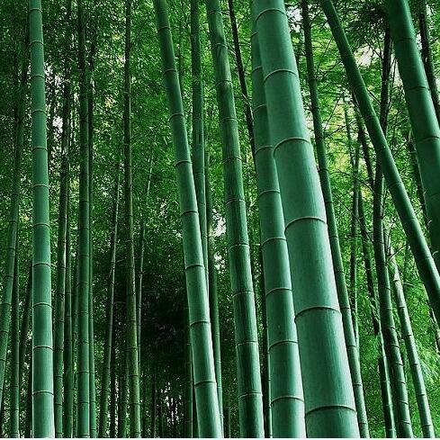 bonsai semillas de bamb moso bamboo tree imber de bamb verde fresco con jardn decoracin planta de bamb verde fresco uni