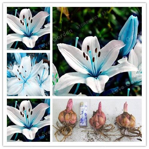 2 лампы духи лилии бонсай редкие Цветник завод балкон бонсай дворовое растение цветы лилии