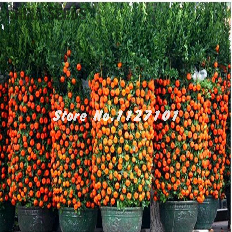 1bagu003d50pcs Hot Sale Kumquat Seeds Orange Balcony Patio Potted Lots Fruit  Tree Tasty Juicy