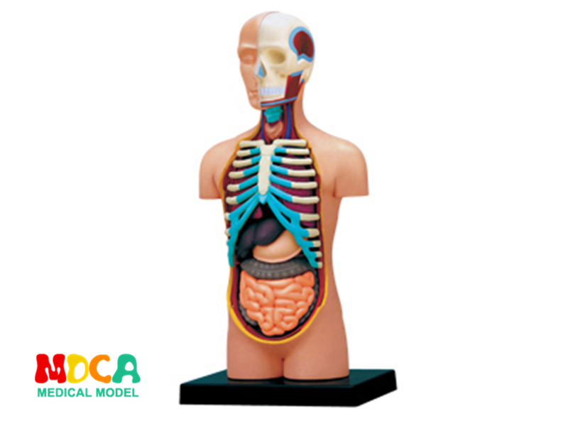 Viscera 4d master puzzle Assembling toy human body organ anatomical model medical teaching model