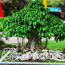Widely Cultivated Peepal Ficus Religiosa Seeds 5pcs, Family Moraceae Perennial Sacred Fig Seeds, Semi-evergreen Bodhi Tree Seeds(China)