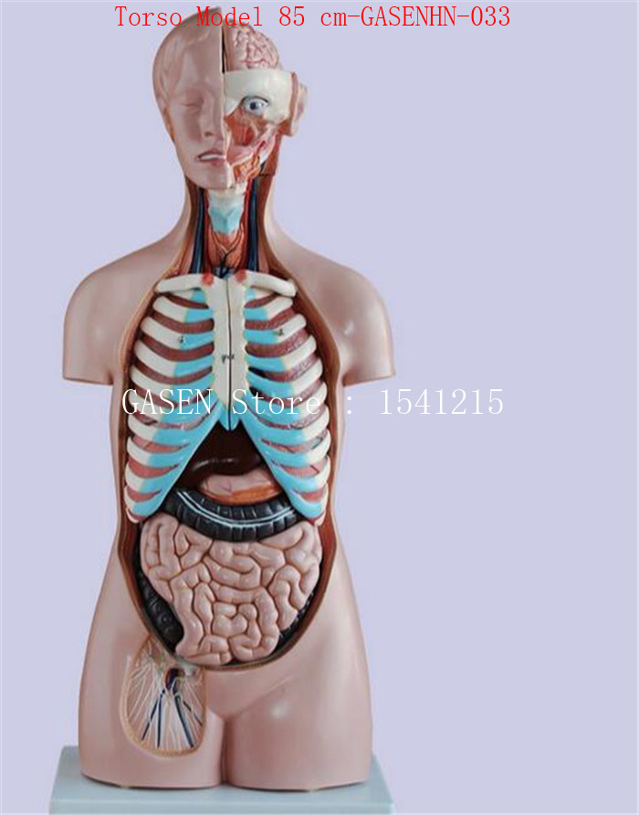 Visceral anatomy male female Anatomical trunk anatomy model chest ...