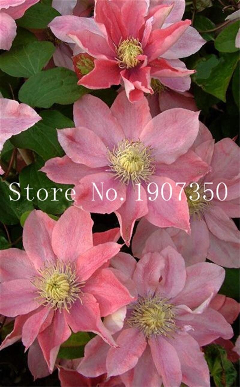 Hot Selling 100 Pcs Rare Clematis Bonsai Perennial Flowers Climbing