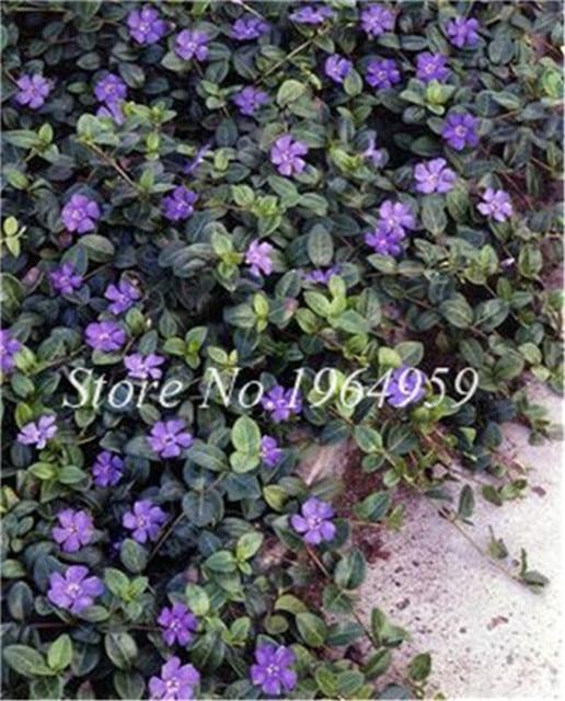 100 Pcs Exotic Pervinca Bonsai Fiore Della Miscela Vinca Copertura Dietro Casa Jardin Fiore In Fiore Bonsai Illuminare Il Vostro Giardino Personale