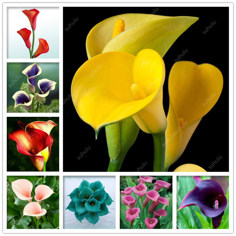 100 Pcs Calla Lily Bonsai Imported From Holland, Flower Lily Palnts, Rare Plants Flowers Home Gardening DIY Garden Supplies(China)