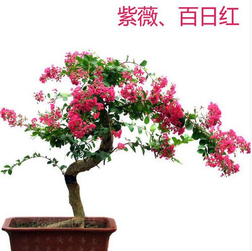 2016 Direct Selling Limited Sementes 20seeds/bag Crape Myrtle Seeds Blooms  Perennial Garden Plant Flower
