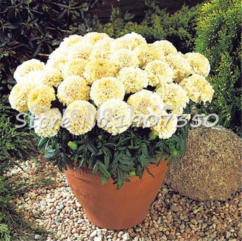 Promozione di vendite 100 Pcs African Marigold Francese Calendula Erbe Tagetes Erecta Fiore Bonsai Tagetes Fiore Per La Casa Giardino Impianto