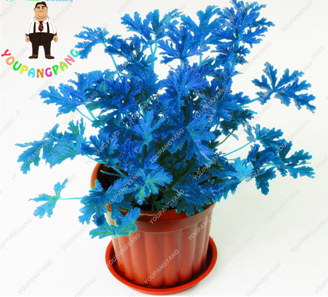 200 pcs Mosquito Repelling Grass Riddex Plant plants Mozzie Buster Sweetgrass. Garden & Home Bonsai Plant Indoor Plant