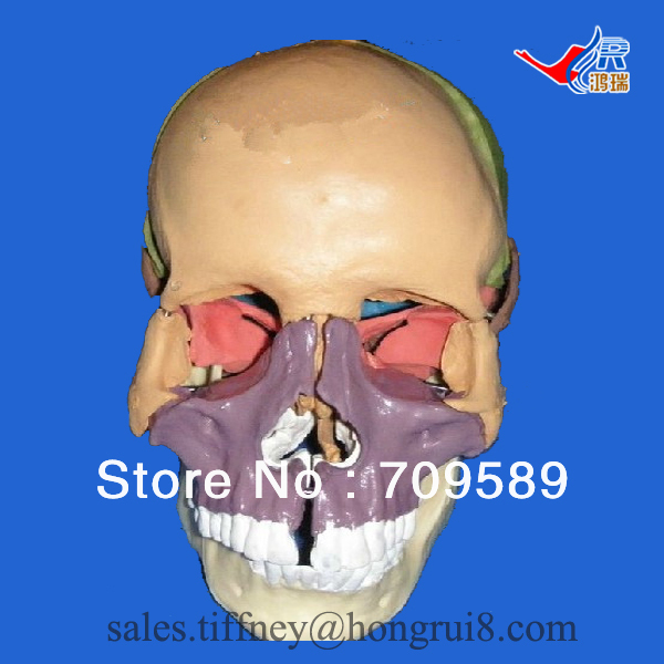 ISO Deluxe Adult skull with colored bones, Skull model planet waves 50js01 joe satriani strap skull n bones