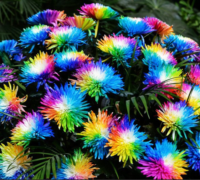 100 Real Rainbow Chrysanthemum Flower Seeds Rare New Arrival DIY Home Garden Plant Flowers Seed Ornamental In Bonsai From On