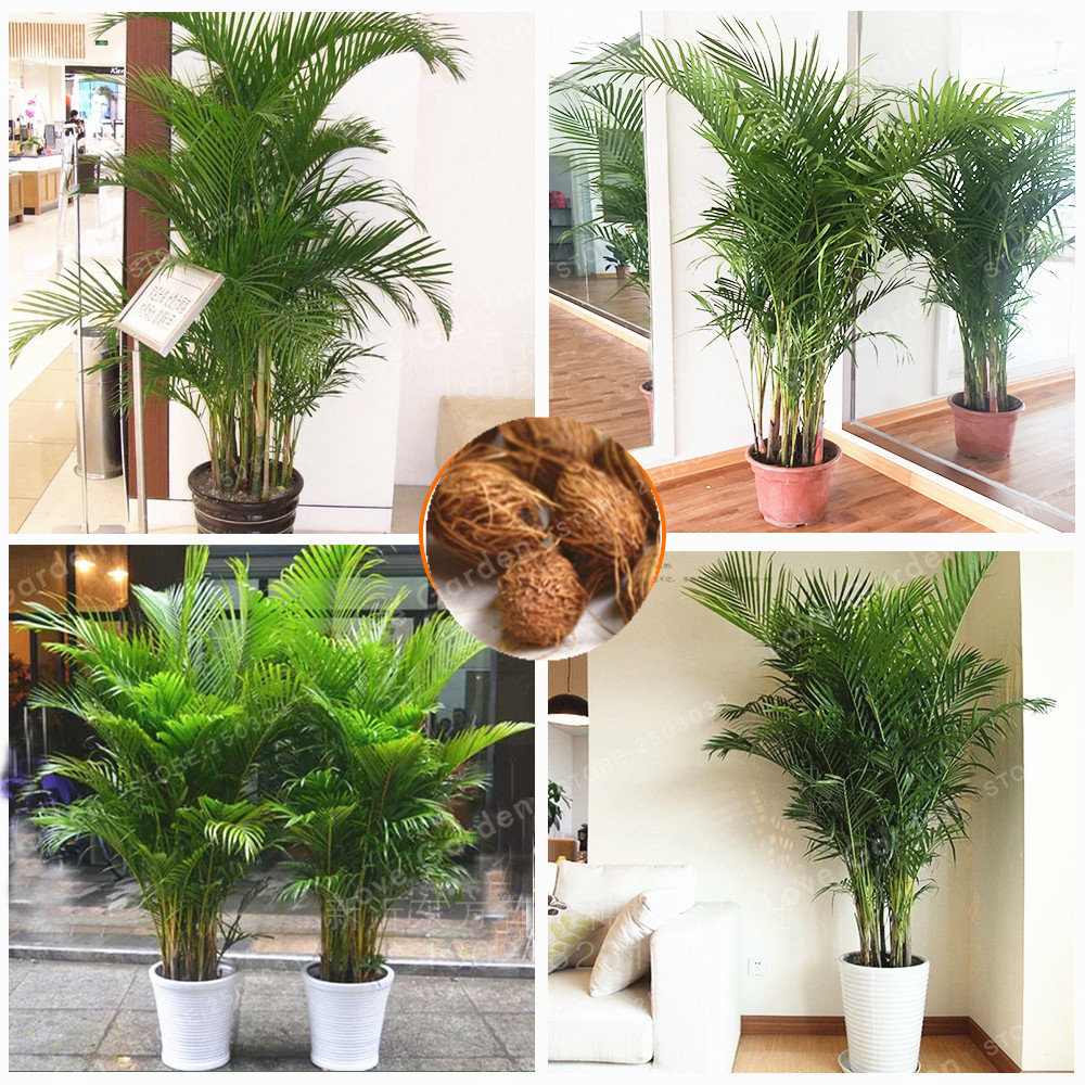 5 pcs chrysalidocarpus lutescens seeds home decoration - Indoor plant decor ideas ...