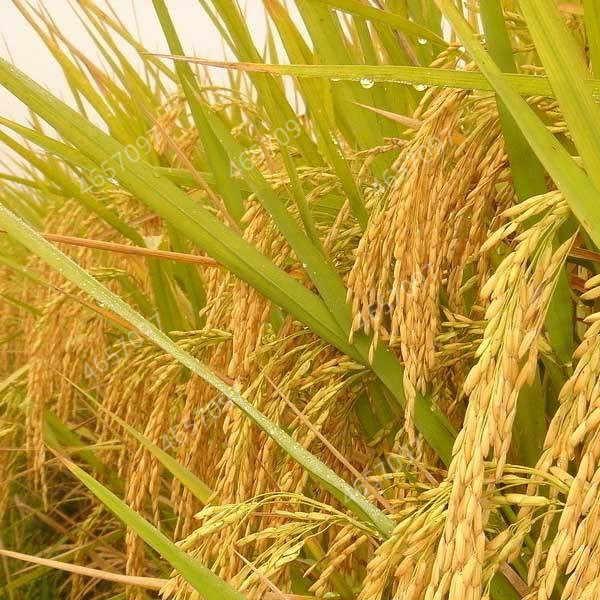 100 Buah Eksotis Beras Emas Plant Non GMO Pusaka Tinggi Penyakit Resistancehigh Menghasilkan Tanaman Outdoor Planta Padi untuk Rumah taman