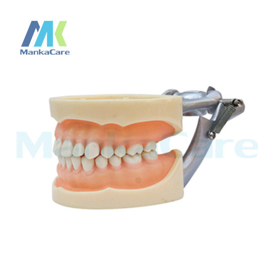 Manka Care - Standard Model/28 pcs Tooth/Soft Gum/Screw fixed/ DP Articulator Oral Model Teeth Tooth Model promotion 24 pcs soft gum standard dental child model teeth fe articulator doctor teeth model a3