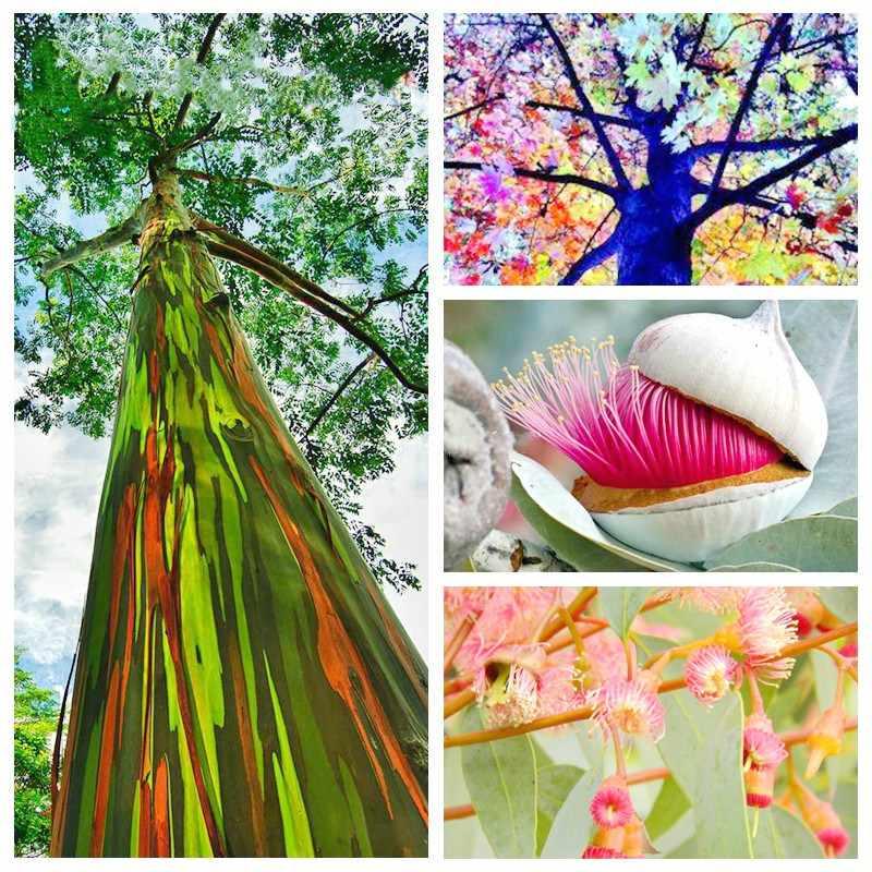 100 قطعة/الحقيبة قوس قزح الكافور بونساي شجرة جاينت شجرة الكينا النباتات المعمرة في الهواء الطلق مصنع للمنزل نباتات للحديقة الديكور