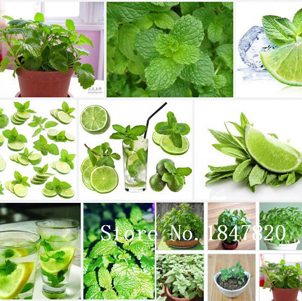 Foliage plant seeds Mentha citrata, herbal lemon balm, lemon mint seeds,about 30 particles