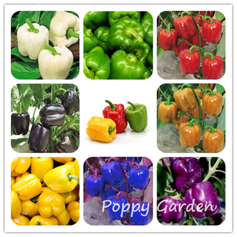 SWEET PEPPER /'Marconi Red/' plug plants mild pointed FREE DEL/> £25