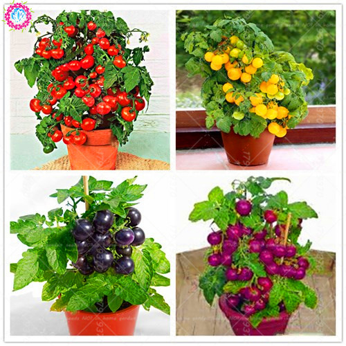 Original home Bush tomatoes in pots! Different colors!