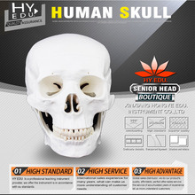 Medical teaching supplies Anatomy Life size 3 parts  human skull model with 3 teeth removable