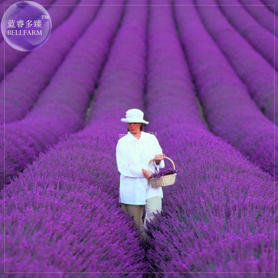 Online Shop Bellfarm 200pcs French Provence Lavender Blue Purple