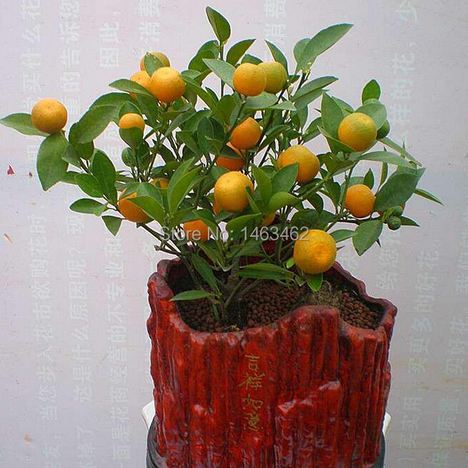 compare prices on kumquat trees online shopping/buy low price, Beautiful flower