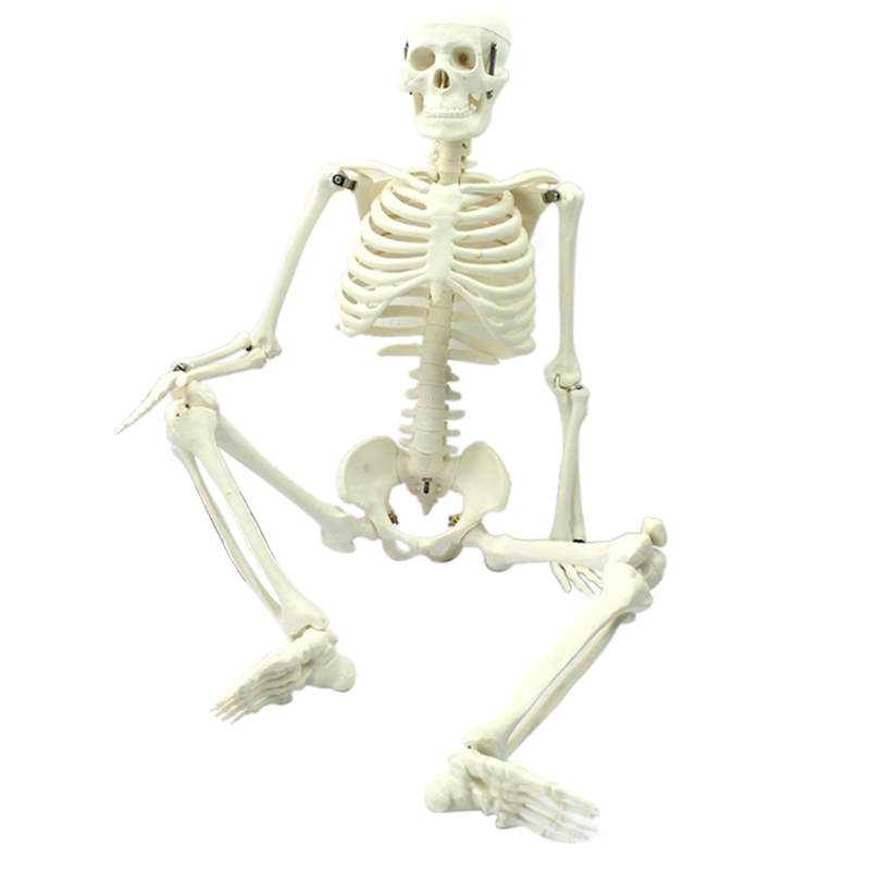 Medical standard anatomy 85cm human body skeleton model manikin Hi-Q medical esqueleto