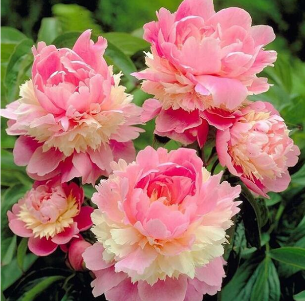 15pcs Mixed Colors Tree Peony Flower Seeds Home Garden Free