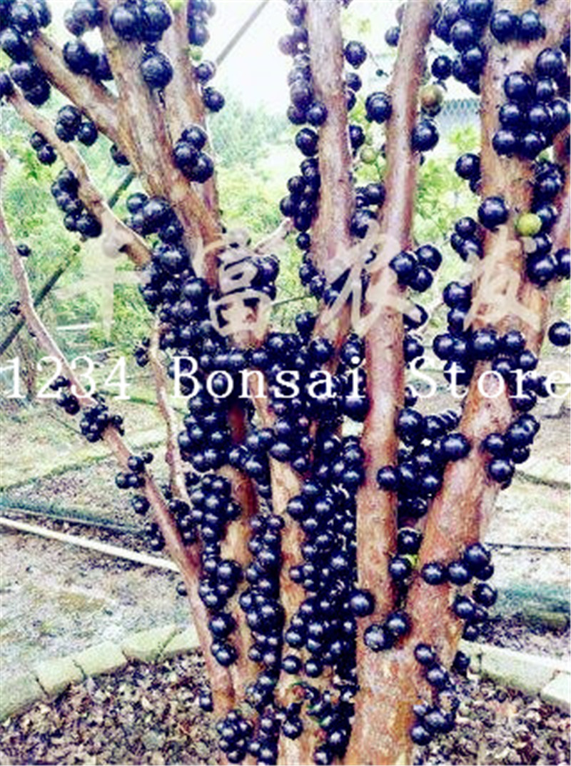 100 Pcs Delicious Fruit Plant Plinia Cauliflora Bonsai Tree Family Myrtaceae Jabuticaba Fruit Novel Plant Brazilian Grape Tree