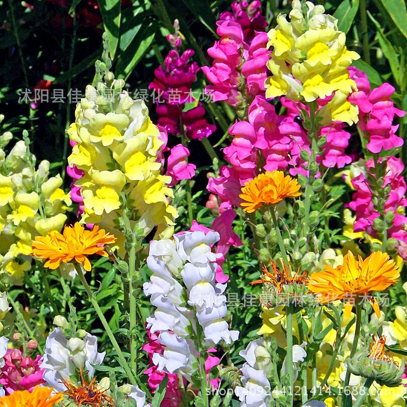 Authentic wholesale flower seed seed font b snapdragon b font flower lion fish leading syphilis through