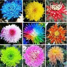 seed Whole Sale 22 Colors Available Chrysanthemum Seeds Chrysanthemum Morifolium Seeds Beautiful rPotted Plant 120PCS