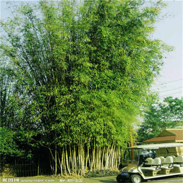 Easy grow สด Giant Moso ไม้ไผ่ bonsais สำหรับ DIY Home Garden Plant * อินทรีย์ที่ดีที่สุด