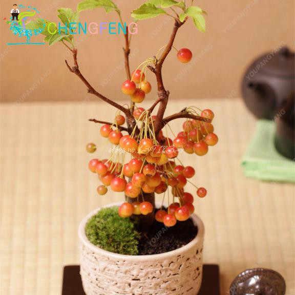 20 قطعة أزهار الكرز العضوية النادرة فواكه صغيرة الكرز بونساي النباتات لحديقة المنزل سهلة النمو