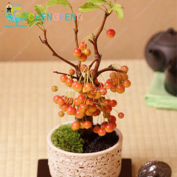 Garden Supplies Latest Collection Of 10pcs Cherry Bonsais Fruit Cherry Mini Bonsai Draft Tree No-gmo Big And Sweet Easy Grow Fast Growing