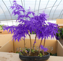 30pcs / purple Japanese maple seeds, rare indoor bonsai tree seeds. Home & Garden purple Japanese maple. free delivery