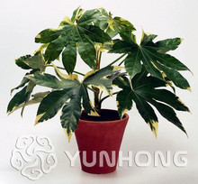 Spikenard Aralia Fatsia Japonica Seeds10pcs