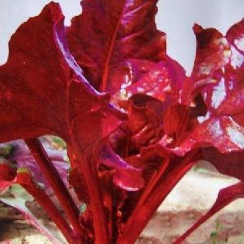 Горячая красная свекла bonsais овощная bonsais 100 шт.