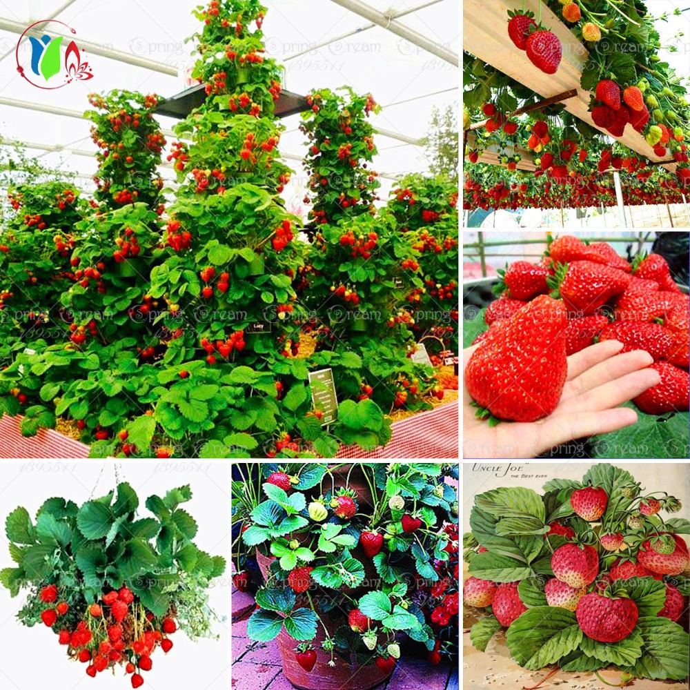 600 pcs red giant climbing strawberry seeds fruit seeds for home garden diy rare seeds for