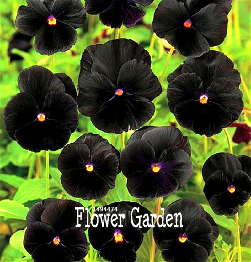 100 Seeds A Lot Lowest Price! Rare Flower Seeds Black Pansy Seeds, Cold Resitance Perennial Home Decoration Bonsai Flowers Seed
