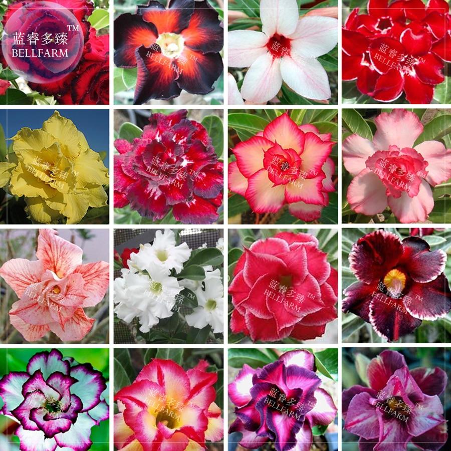 Bellfarm Bonsai Adenium Mixed 16 Colors Big Blooms Flowers