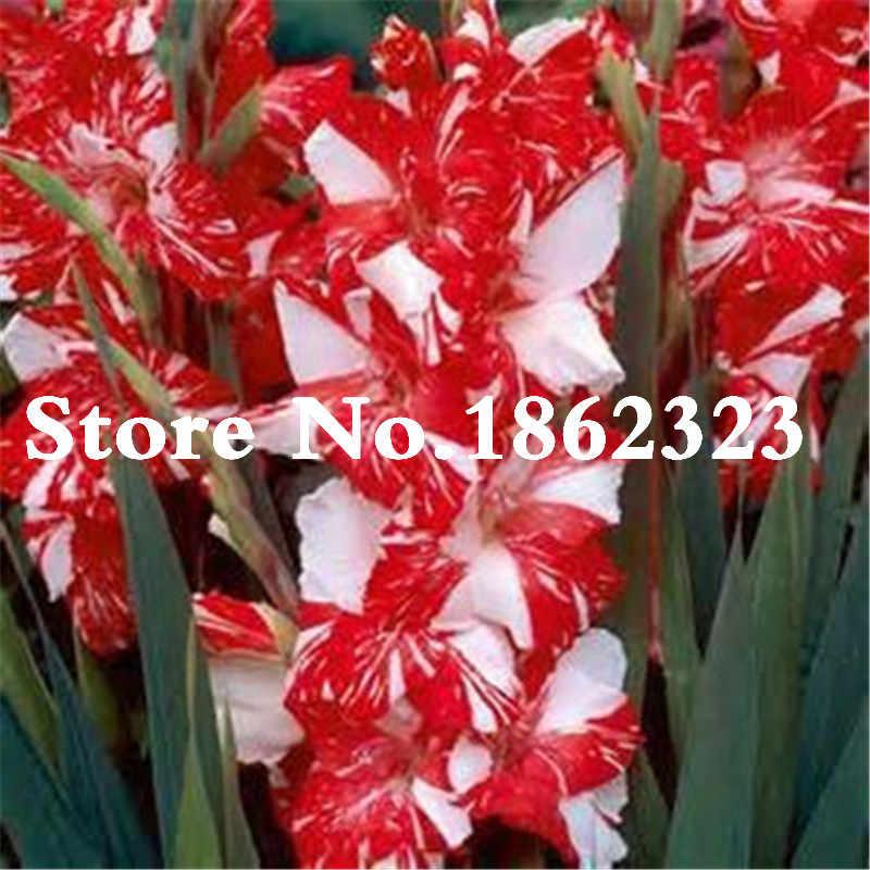 100 шт. Gladiolus цветок, gladiolus цветок бонсай, Аэробные комнатные растения в горшках Редкий меч цветок лилии многолетние флористы завод