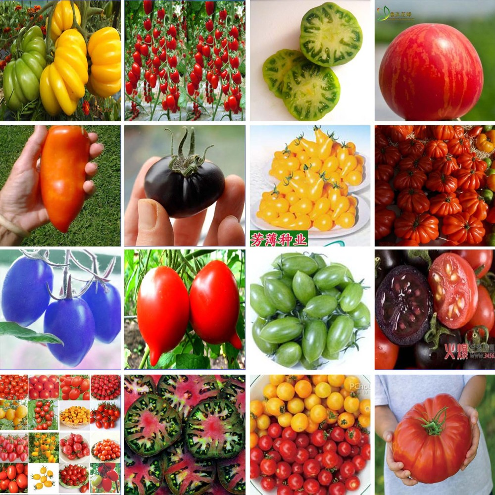 200 seeds 16 kinds of tomatos Variety complete very tasty easy-growing bonsai potted free shipping