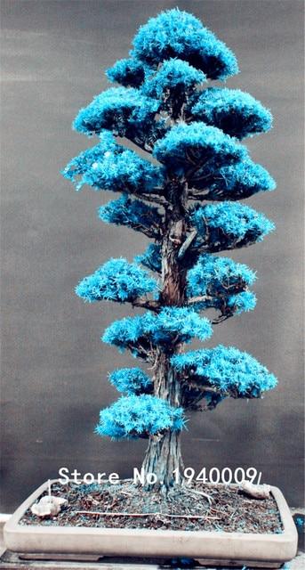 30 pz Bonsai Giapponese Albero di Cedro Albero Ornamentale Bonsai Everygreen Woo