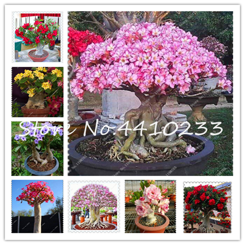 top 9 most popular of adenium list and get free shipping - List