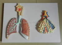 Respiratory System Model ,Trachea Dissection Model ,Human Respiratory System Anatomical Model